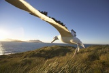 Wandering Albatross on South Georgia Island
