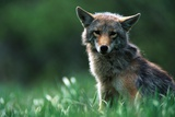 Coyote in Alpine Meadow