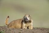 Prairie Dog in Theodore Roosevelt National Park Papier Photo par Paul Souders