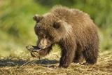 Brown Bear Spring Cub  Katmai National Park  Alaska