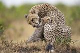 Cheetah Grooming Cub in Masai Mara National Reserve