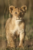Lion Cub on Savanna in Masai Mara National Reserve