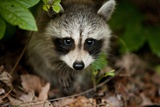 Raccoon at Assateague Island National Seashore in Maryland