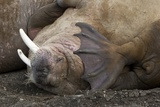 Walrus Herd Lying on Beach