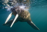 Walrus Swimming under Surface of Water Near Tiholmane Island