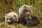 Brown Bear Spring Cubs  Katmai National Park  Alaska