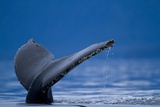 Sounding Humpback Whale  Alaska