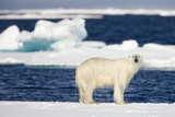 Wet Polar Bear on Pack Ice in the Svalbard Islands