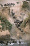 Wildebeests Running into River