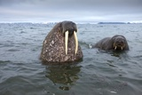 Walruses Swimming