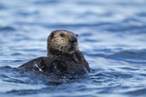 Sea Otter  Alaska