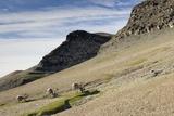 Reindeer Grazing on Tundra on Edgeoya Island