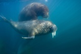 Walrus Swimming Underwater Near Tiholmane Island