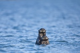 Sea Otter and Pup  Alaska