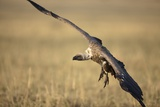 Whitebacked Vulture Landing Near Carcass During Serengeti Migration