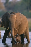 Elephant with Calf Wading in River