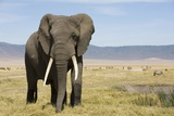 Elephant in Ngorongoro Conservation Area  Tanzania
