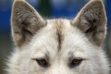 Sled Dog in Greenland