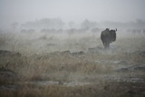 Wildebeest in Rain Storm in Masai Mara National Reserve