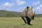 White Rhinoceros in Meadow
