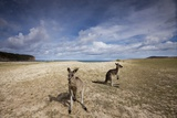 Eastern Gray Kangaroos on Beach in Murramarang National Park