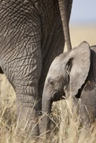 Elephant Calf Beside Adult in Masai Mara National Reserve