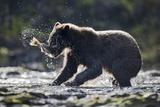 Brown Bear Fishing for Salmon in Alaska
