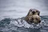 Sea Otter with Pup in Kukak Bay