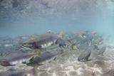 Spawning Salmon at Kinak Bay in Katmai National Park