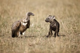 Spotted Hyena Pup and Whitebacked Vulture