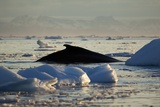 Humpback Whale in Disko Bay in Greenland