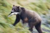 Brown Bear Carrying Salmon in Alaska