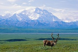 Caribou Below Mckinley