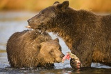 Grizzly Bear Mother and Two Year Old Eating Salmon