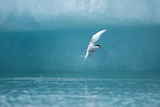 Arctic Tern Fishing in Jokulsarlon Lake