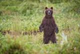 Brown Bear in Coastal Meadow in Alaska