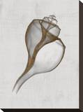 Channelled Whelk