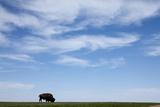 American Bison in Badlands National Park