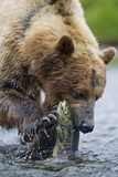 Brown Bear Fishing in Salmon Stream in Alaska