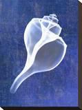 Channelled Whelk (indigo)