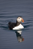Atlantic Puffin Swimming in the Svalbard Islands