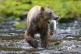 Brown Bear Catching Sockeye Salmon in Alaska