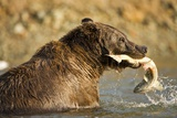 Grizzly Bear Catching Spawning Salmon at Kinak Bay
