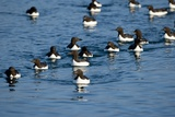 Brunnich's Guillemots  Svalbard  Norway