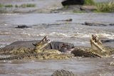 Hippopotamus Threatening Nile Crocodiles in River