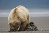 Grizzly Bear Digging Clams at Low Tide at Hallo Bay