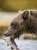 Grizzly Bear Carrying Spawning Salmon at Geographic Harbor