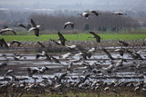 Middle East  Israel  Hula Park  Large group of Cranes