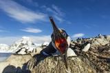 Blue-Eyed Shag  Antarctica