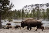 Bishon, Yellowstone National Park, Wyoming Papier Photo par Paul Souders
